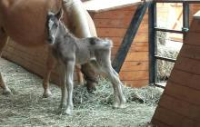 Silver Filly